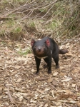 Tasmanian Devil.  Eaglehawks Neck Tasmania Feb 26