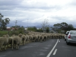 A Tasmanian traffic Jam. Feb 25, 2008